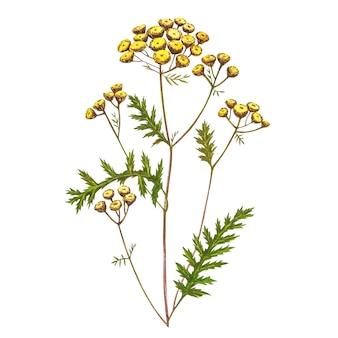 Полевые цветы лекарственной пижмы акварельные иллюстрации. изолированный цветок, гербарий. точная ботаническая иллюстрация.
