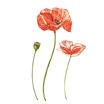 水彩の赤いケシ。白で隔離される野生の花セット。