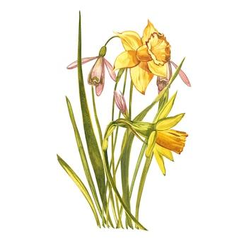 水彩の水仙とスノードロップ。白で隔離される野生の花セット。植物の水彩イラスト、黄色い水仙の花束、素朴な花。白の水彩イラストのセット