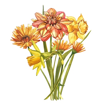 水彩の水仙とダリア。白で隔離される野生の花セット。植物の水彩イラスト、黄色い水仙の花束、素朴な花。白の水彩イラストのセット