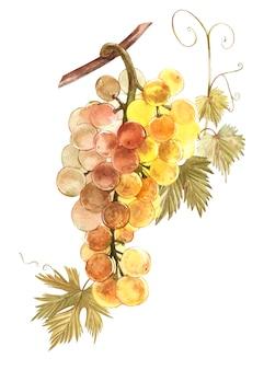 Акварельные иллюстрации гроздья белого винограда.