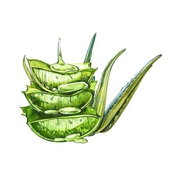 Завод алоэ вера изолированы. акварель агава, алоэ вера, сочные, зеленые растения.