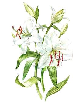 白いユリの水彩セット、白で隔離の花の手描き植物イラスト。
