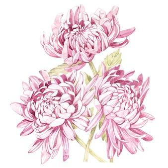 手描きの花菊の水彩画ボタニカルイラストのセット。