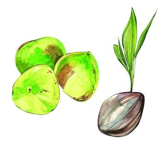 ココナッツの手は、白い背景の水彩画のイラストを描いた。エキゾチックなフルーツ