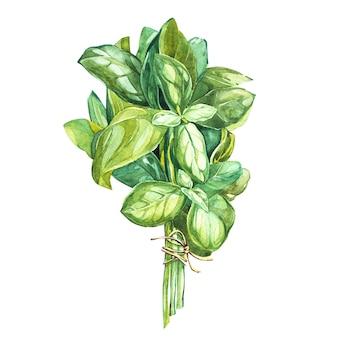 バジルリーバーの植物図。料理や飾りに使用される料理用のハーブの水彩画の美しいイラスト