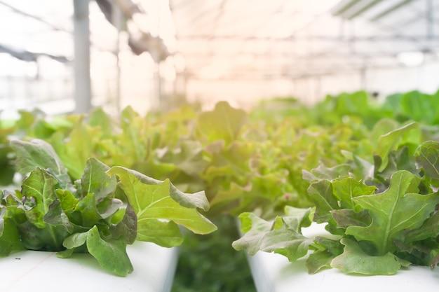 太陽光が当たっている温室で、新鮮で成長した水耕性サラダ野菜