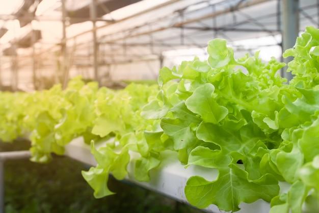 緑のオーク、サラダ野菜、温室内の水耕野菜