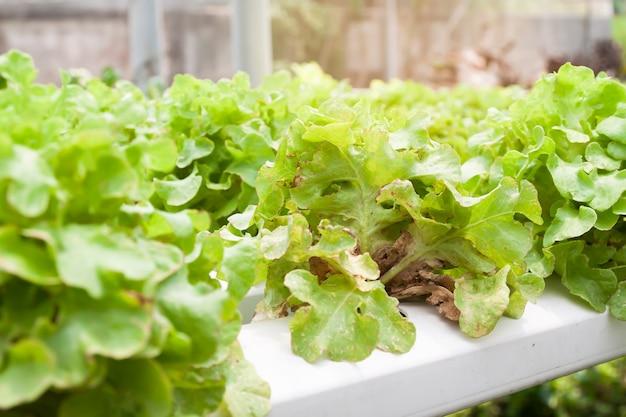 害虫や病気で被害を受けた害虫水耕野菜