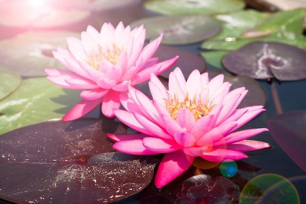 ピンクの蓮、太陽の光とフレアのある美しい水たまり