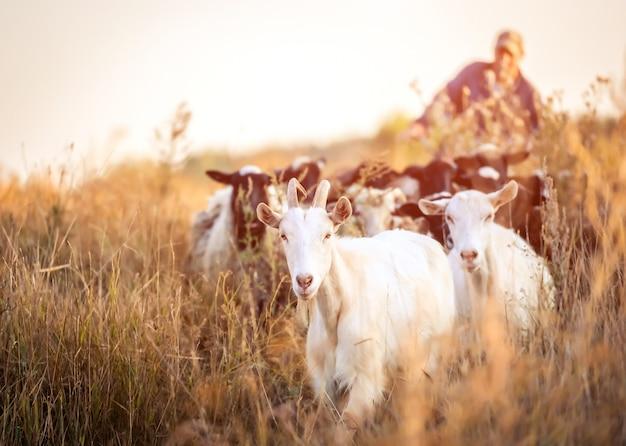 羊飼いがヤギをリード