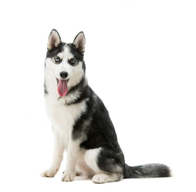 ハスキー犬の品種