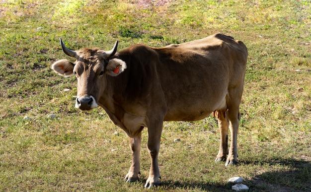 山の草をはむ牛