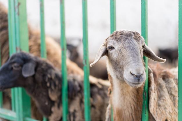 子羊の囲いからのぞき見