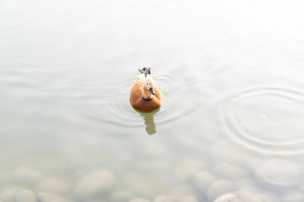 アヒルが池で泳ぐ