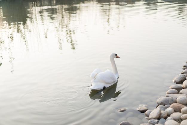 白鳥が池で泳ぐ