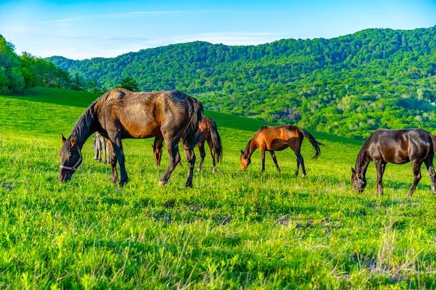 馬は牧草地で放牧します