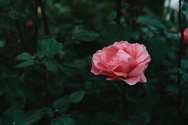 ピンクのバラの開花ブッシュ