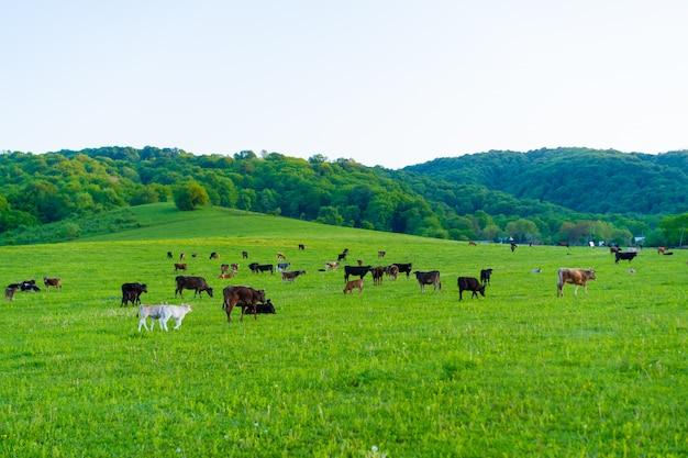 牛は牧草地で放牧します