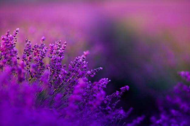Фиолетовое поле лаванды крупным планом во время созревания