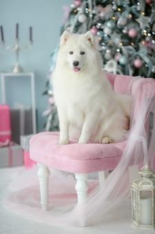 純血種の白いふわふわした犬が椅子に座ってポーズします。