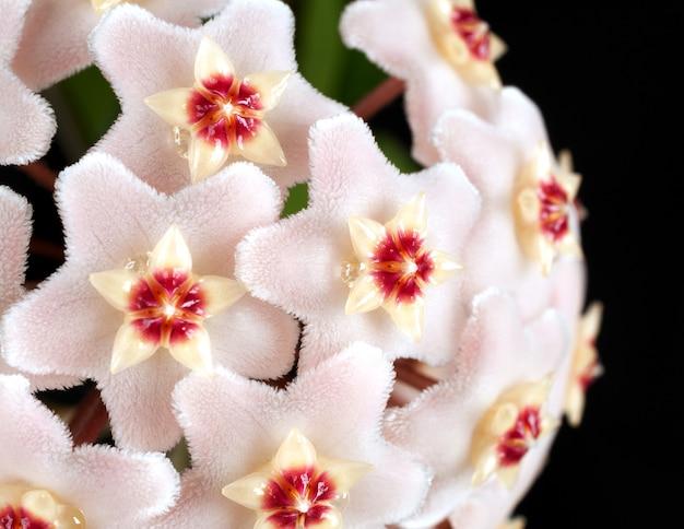 ワックス植物花のマクロ