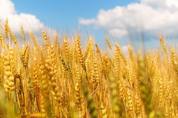 青い空に小麦の穂