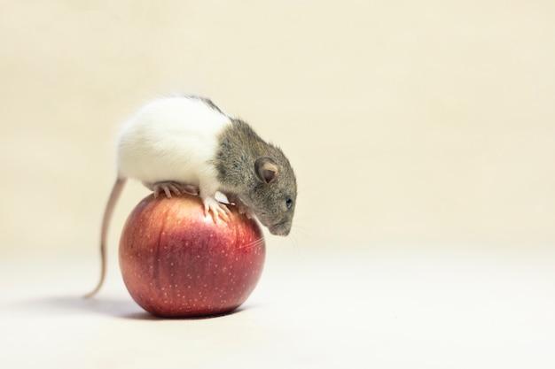 白で隔離されるアップルの上に座ってかわいいペットのネズミ