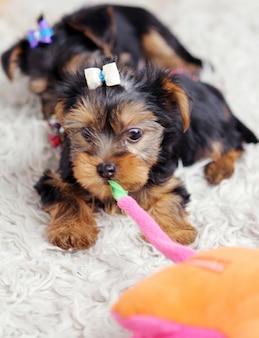 自宅で小さなかわいい子犬