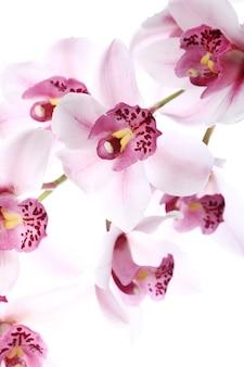 Орхидея на белом фоне