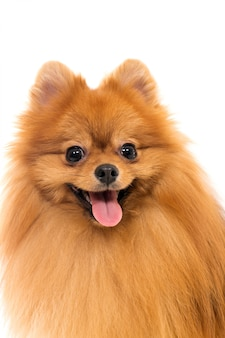 かわいいスピッツ犬