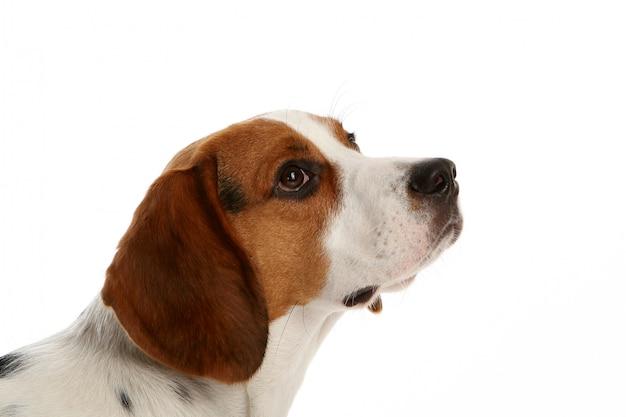 Красивая веселая собака