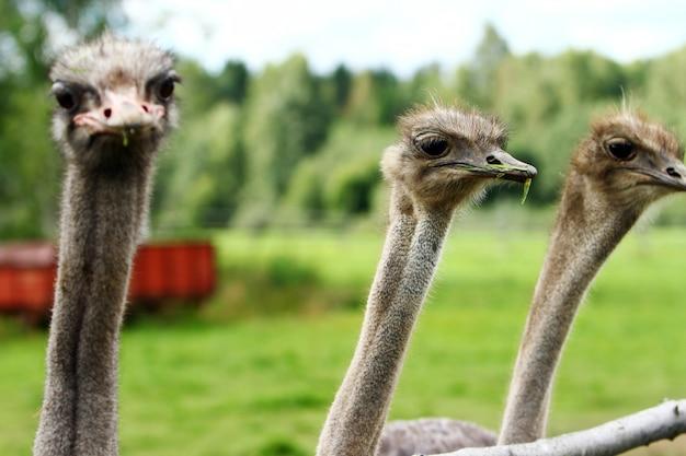 Красивые страусы