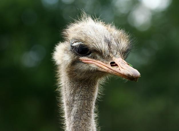 Красивый страус