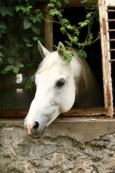 美しい白い馬