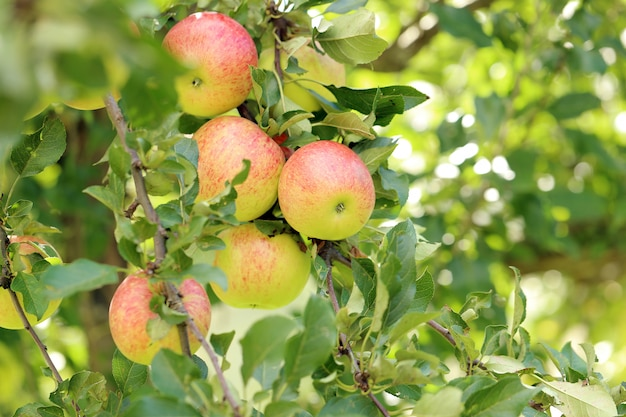 木の上のリンゴ