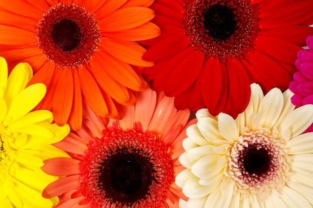 Красивые красочные цветы герберы