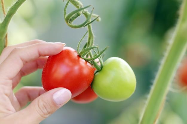 赤と緑のトマト