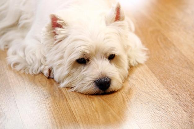 自宅で面白い白い犬
