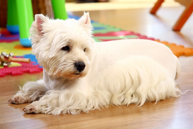 Смешная белая собака дома