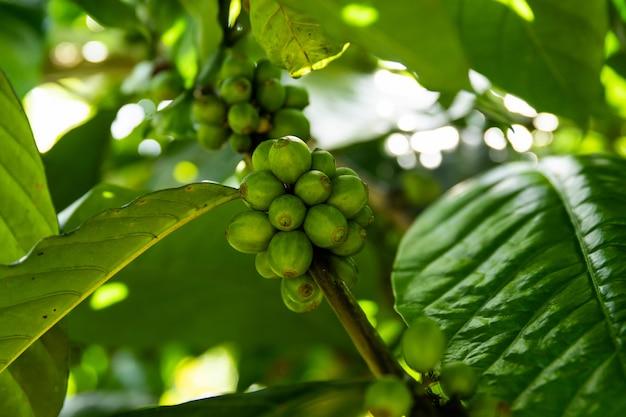 Кофейные зерна на кустах на плантации