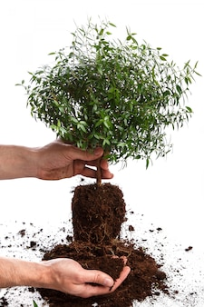 Мужские руки и маленькое зеленое дерево