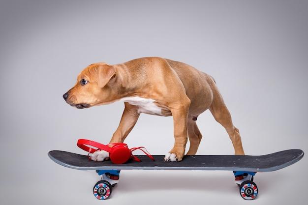 スタッフォードシャーテリアの子犬とスケートボード