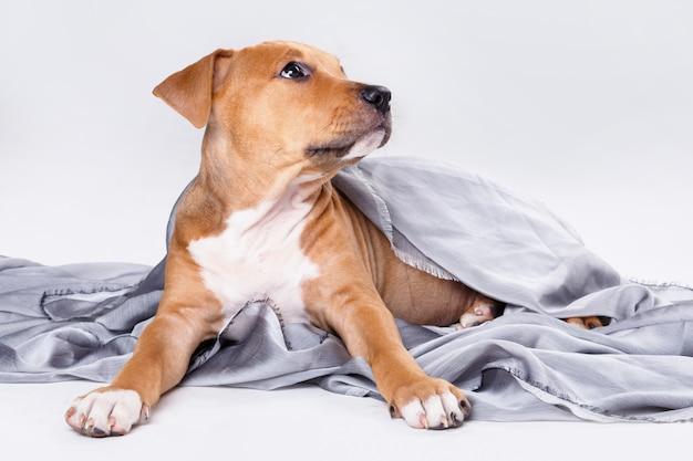 かわいいスタッフォードシャーテリア子犬