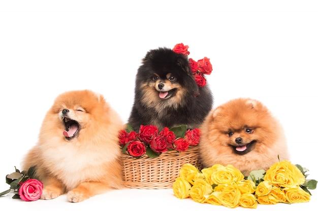 Шпицы в корзине с цветами