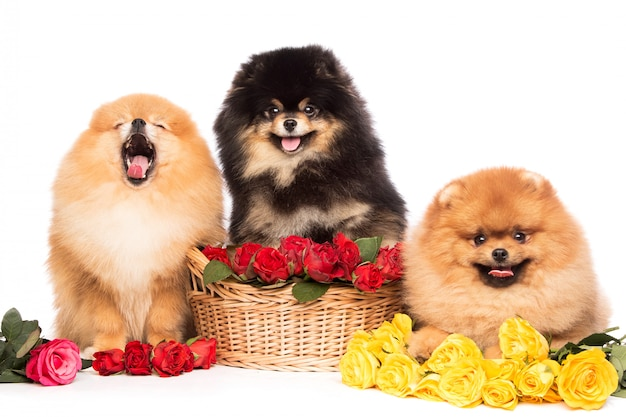 花のバスケットのスピッツ犬