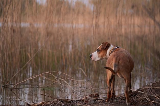 Собака возле озера и увядшие стебли камыша.