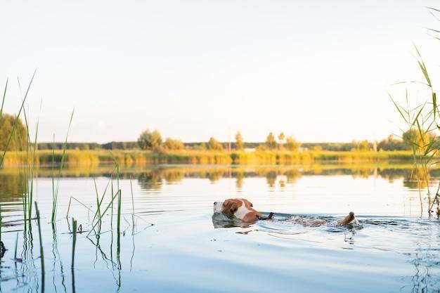 Собака, купание в озере в прекрасный летний день. активные домашние животные, наслаждающиеся физическими нагрузками, играющие за рыбу с реки