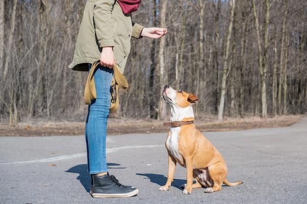 「座る」コマンドを実行するために大人の犬を訓練します。公園でスタッフォードシャーテリアを飼っている人、従順な犬が座って飼い主の声に耳を傾けます。