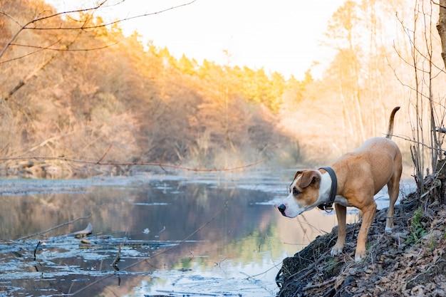 犬は美しい自然を探索し、楽しんでいます。見回す森湖の近くの混合された品種の国内犬